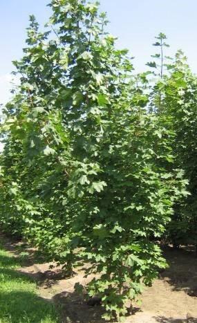 Acer Platanoides cespuglio