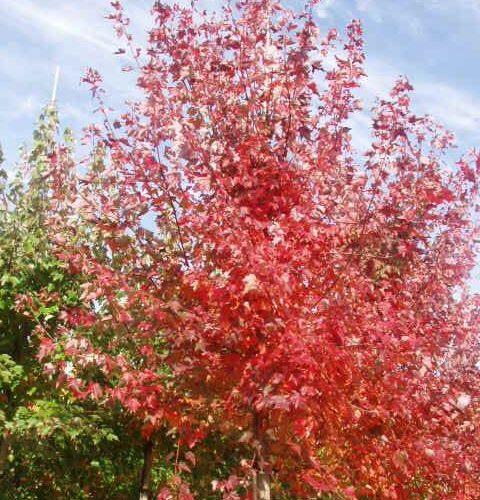 Acer Rubrum Red Sunset®