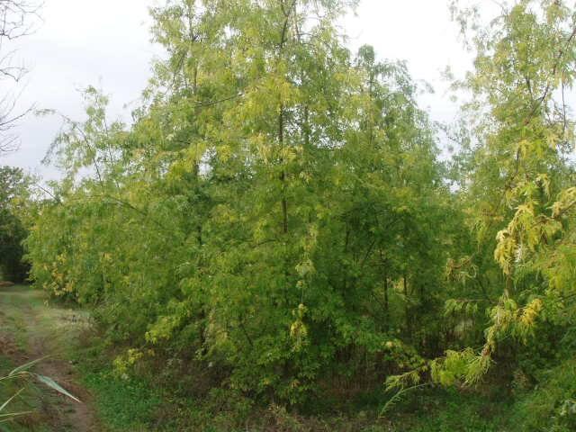 Acer Saccharinum Wieri cespuglio