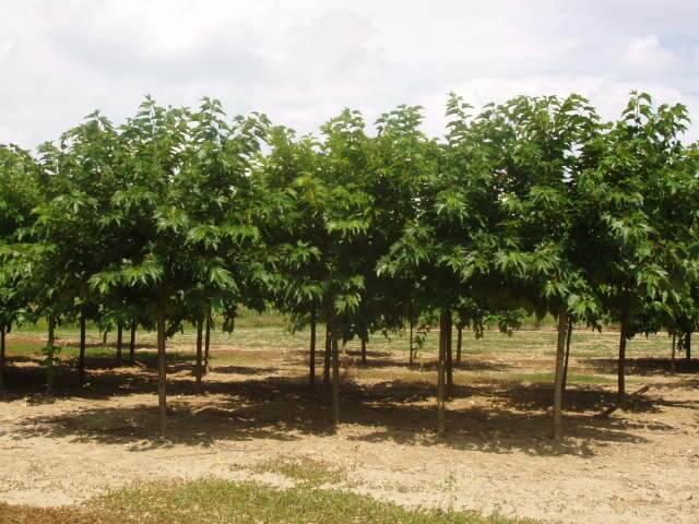 Morus Alba Platanifolia