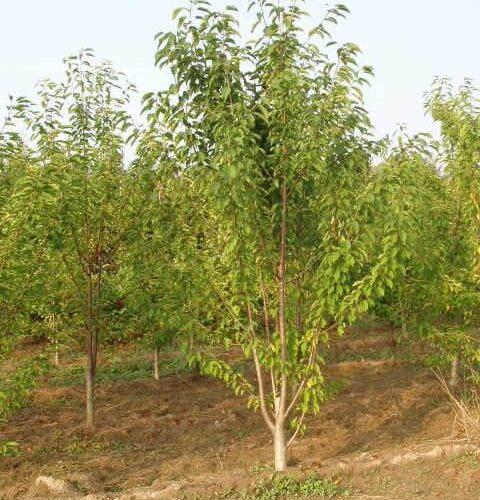 Prunus Avium cespuglio