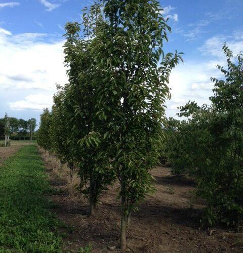 Prunus Serrulata Amanogawa cespuglio