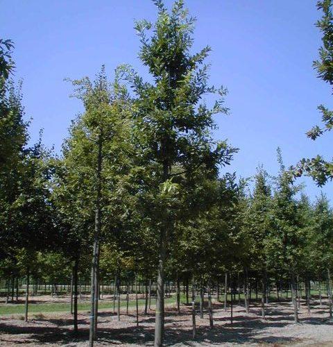 Quercus Cerris