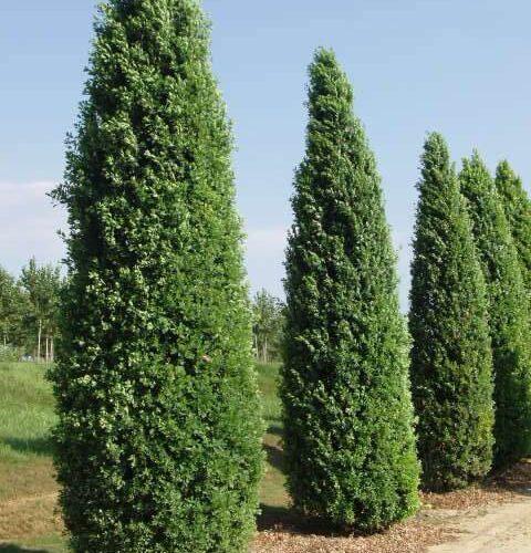 Quercus Robur Fastigiata Ramificato