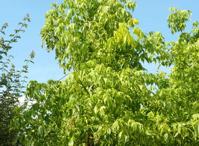 Acer Negundo Aureo-Marginatum