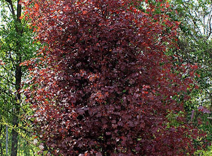 Acer Platanoides Crimson King cespuglio