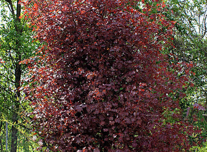 Acer Platanoides Royal Red cespuglio