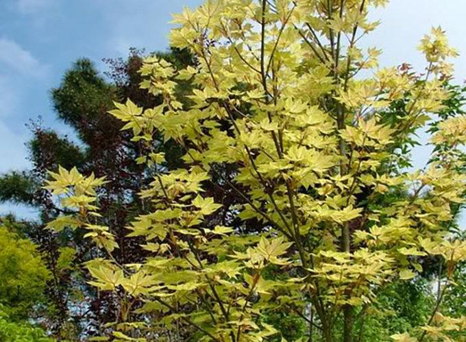 Acer Pseudoplatanus cespuglio