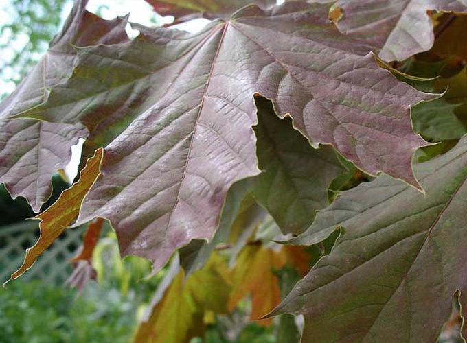 Acer Pseudoplatanus Atropurpurea
