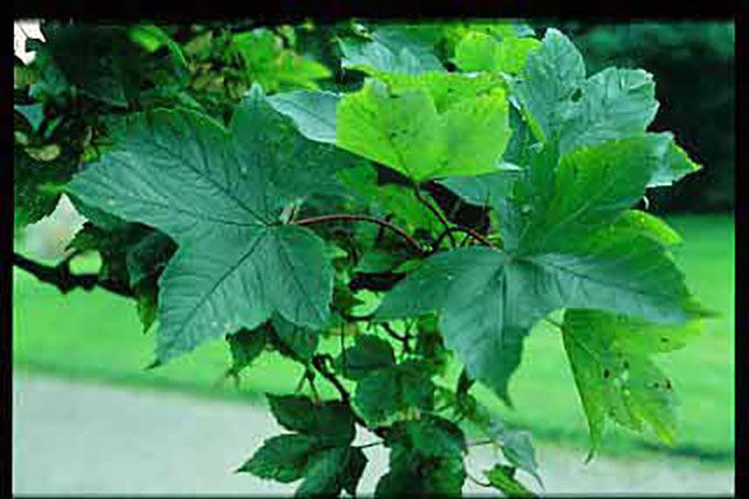 Acer Pseudoplatanus Rotterdam