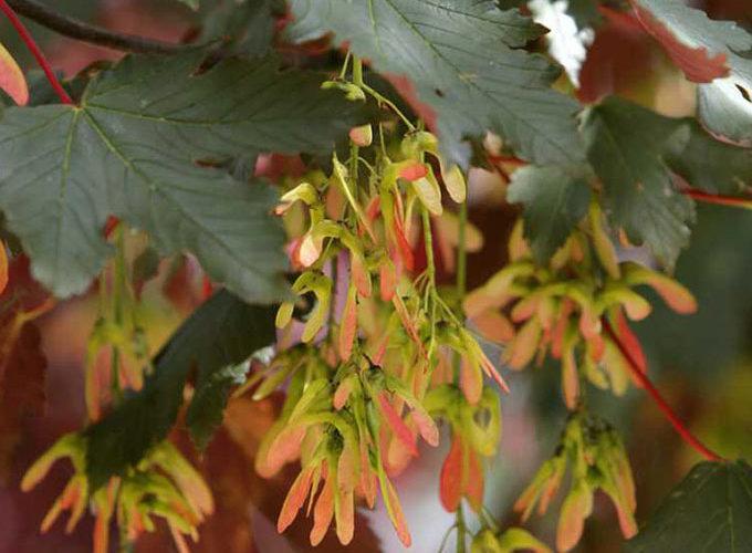 Acer Pseudoplatanus Spaethii