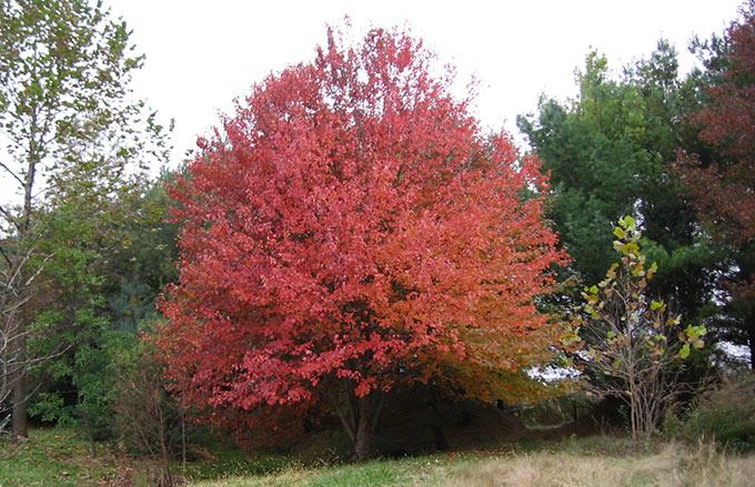 Acer Rubrum cespuglio