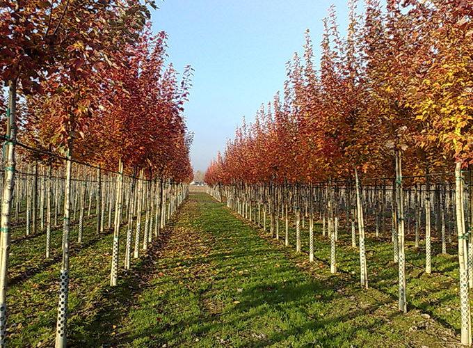 Acer Rubrum October Glory®