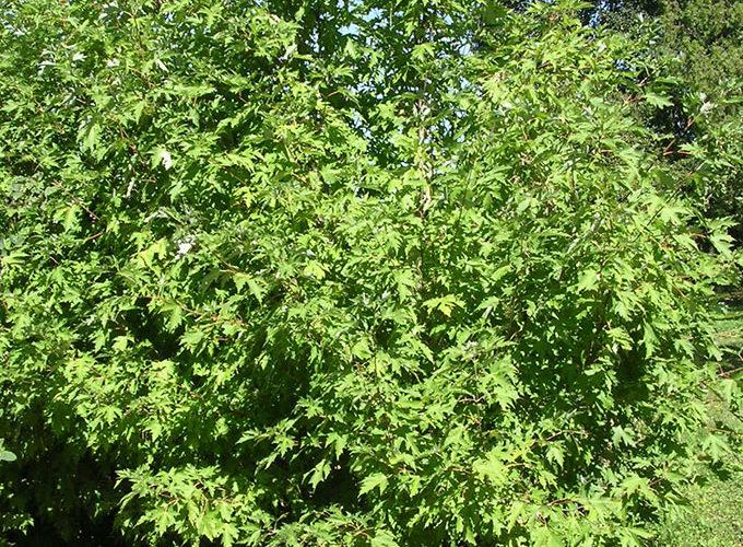Acer Saccharinum cespuglio