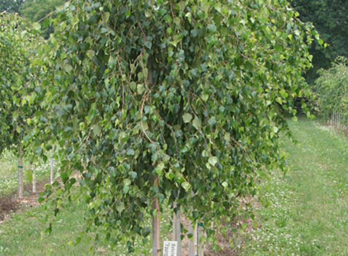 Betula Verrucosa Youngii (Pendula)