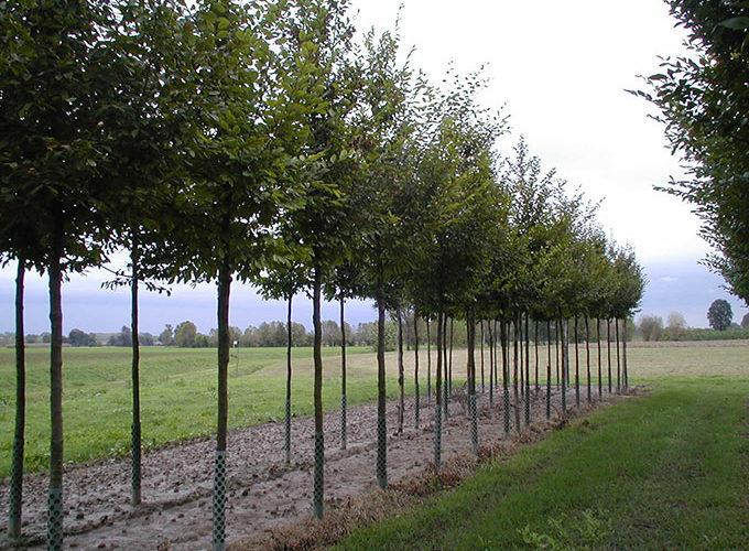 Carpinus Betulus Albero