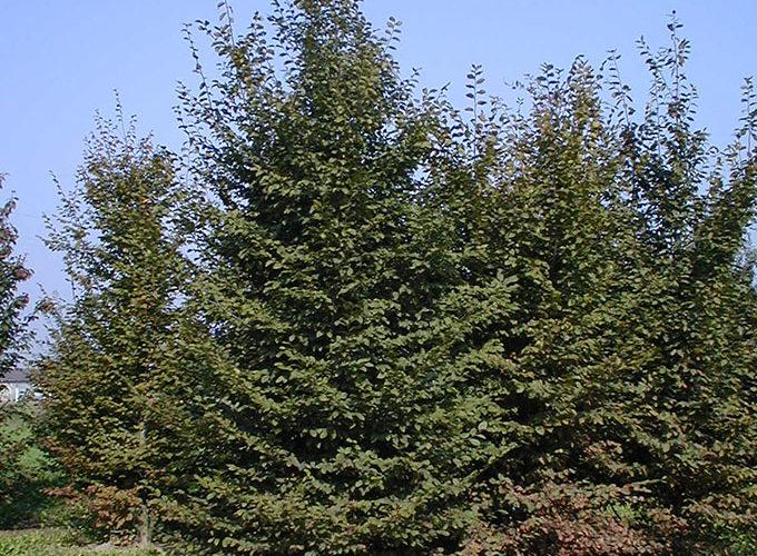 Carpinus Betulus Ramificato