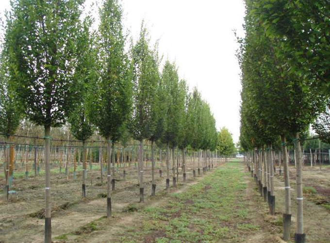 Carpinus Betulus Fastigiata Albero