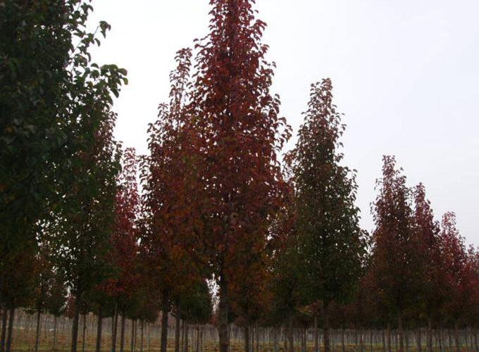 Carpinus Betulus Fastigiata Ramificato
