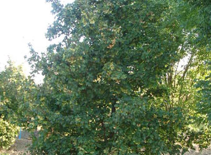Acer Campestre cespuglio