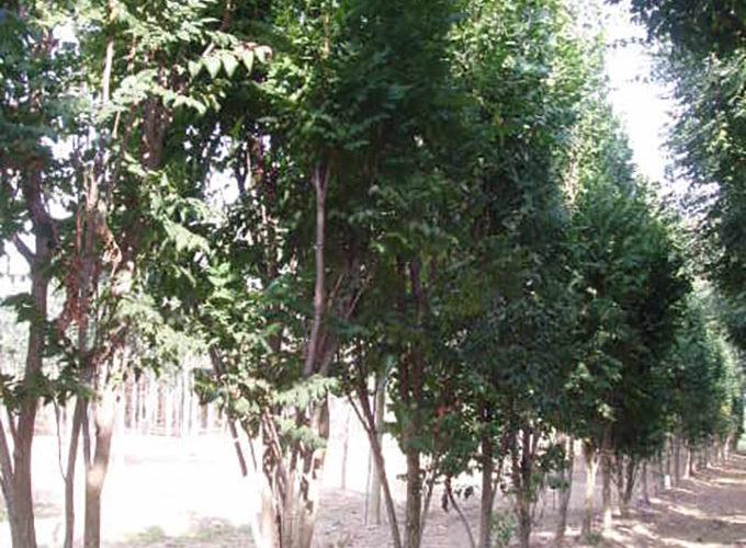 Koelreuteria Paniculata Fastigiata Albero