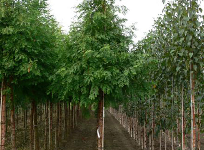 Metasequoia Glyptostroboides Albero