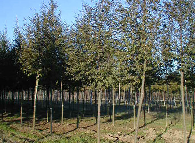 Ostrya Carpinifolia Albero