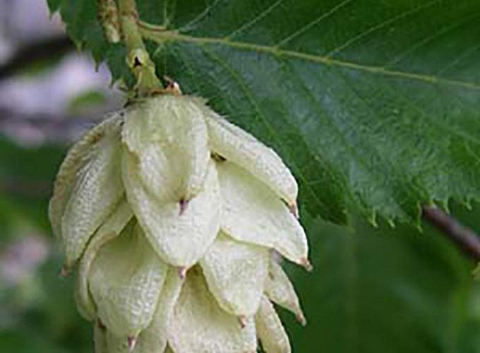 Ostrya Carpinifolia cespuglio