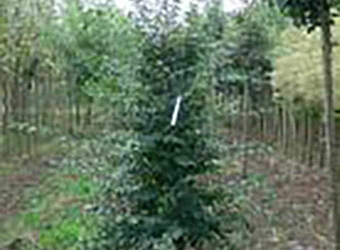 Ostrya Carpinifolia Ramificato