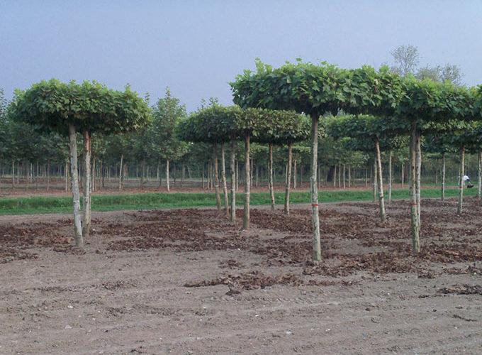 Platanus Acerifolia formato a tetto