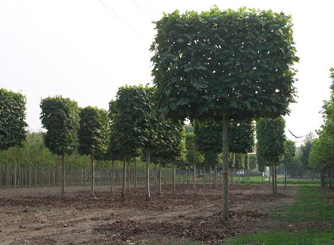 Platanus Acerifolia formato a spalliera