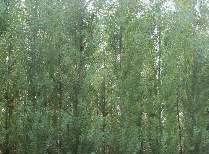 Populus Nigra Italica (Pyramidalis)
