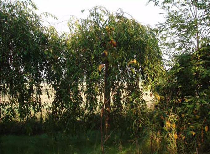 Prunus Subhirtella Pendula