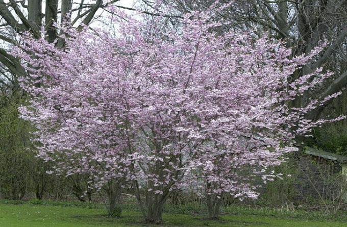 Prunus Subhirtella Autumnalis cespuglio