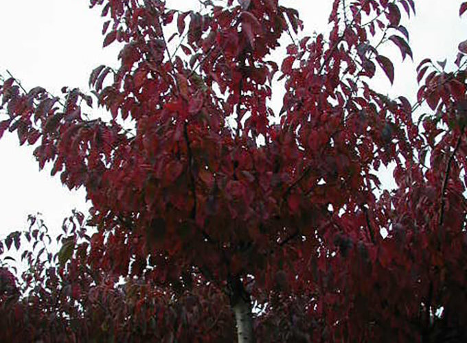 Prunus Sargentii