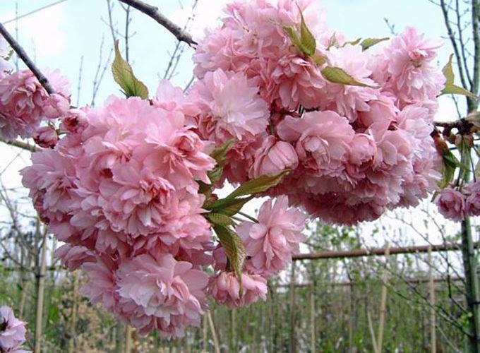 Prunus Serrulata Kiko Shidare Zakura