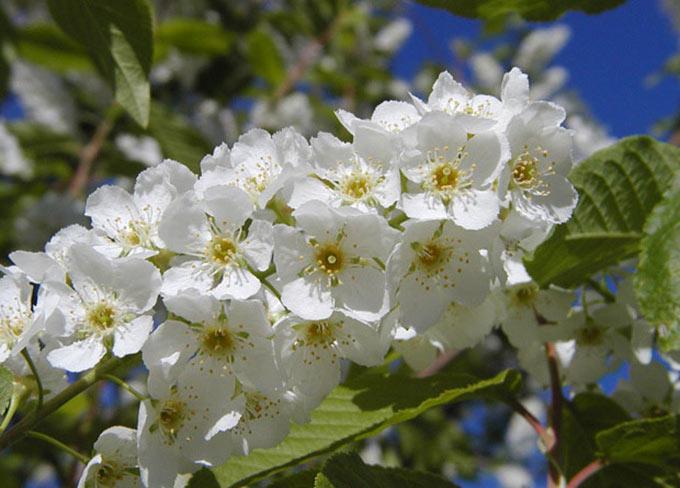 Prunus Padus cespuglio