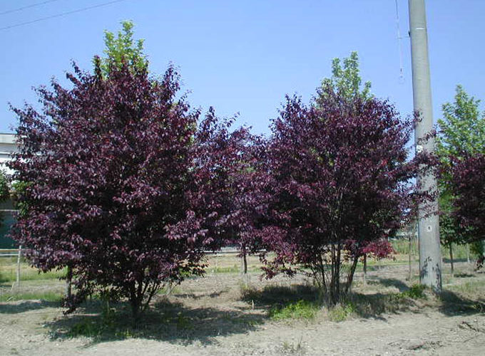 Prunus Pissardi Nigra cespuglio