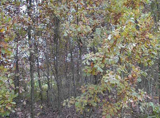 Quercus Robur cespuglio