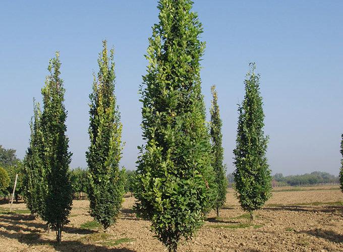 Quercus Robur Fastigiata Koster Ramificato