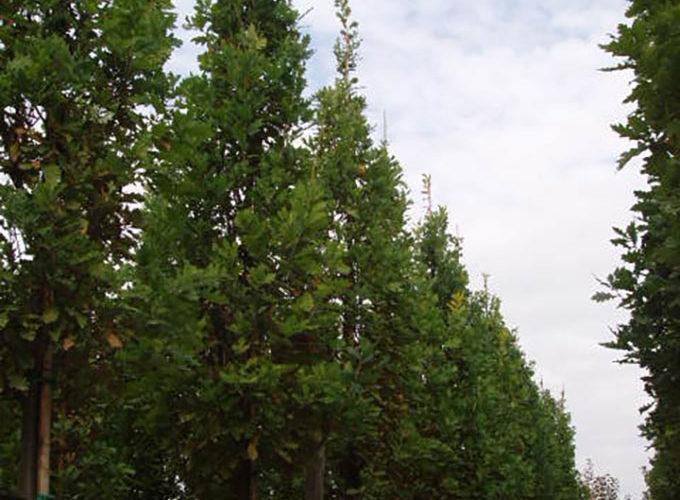 Quercus Robur Fastigiata Koster Albero