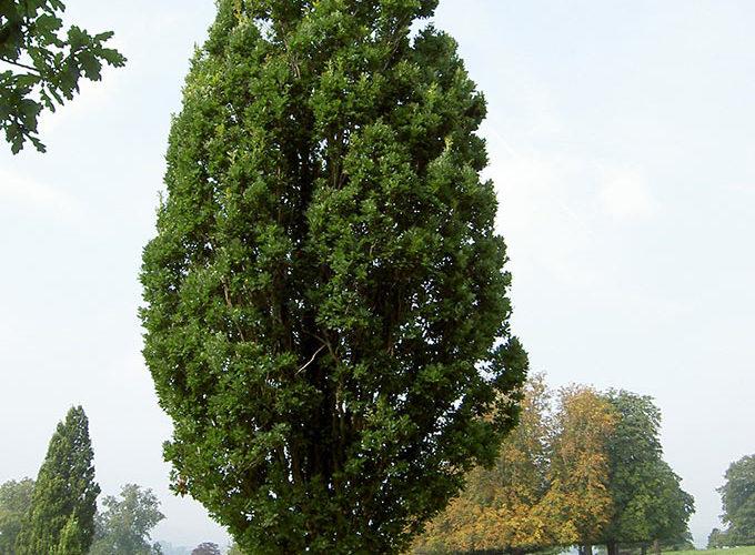 Quercus Robur Fastigiata Albero
