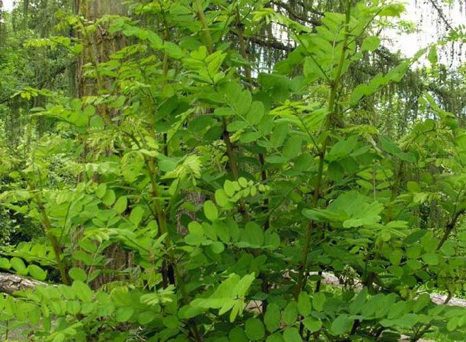 Robinia Pseudoacacia cespuglio