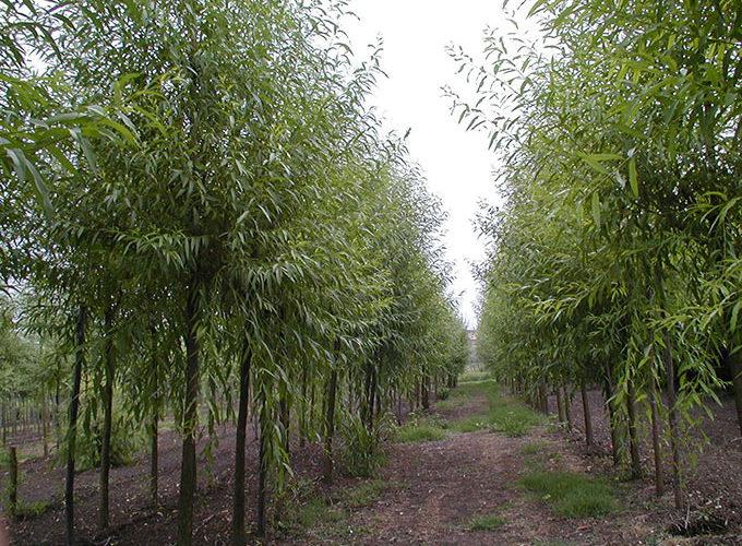 Salix Alba Liempde