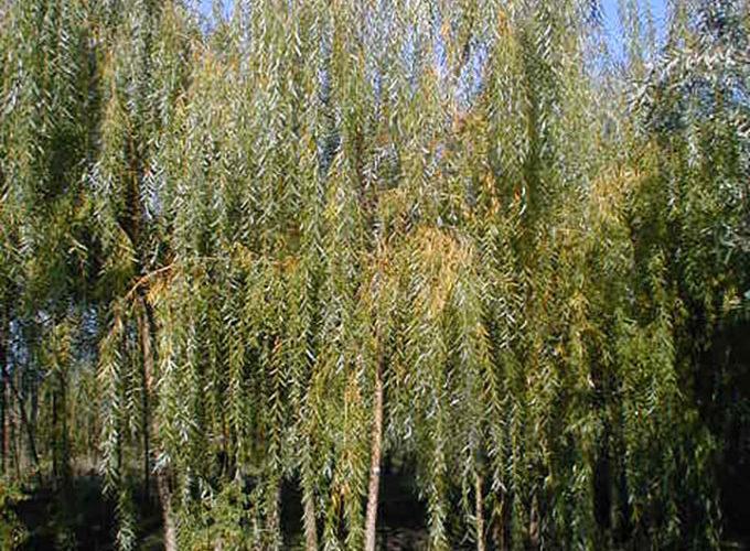 Salix Babylonica Aurea